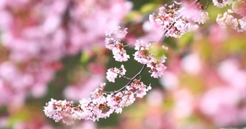 桜やコスモス、恋を連想させるピンク色